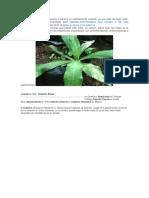 El Uso Del Eucalipto Como Planta Medicinal Es Relativamente Reciente