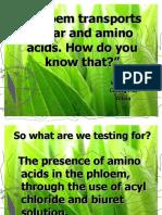 Phloem Transports Sugar and Amino Acids