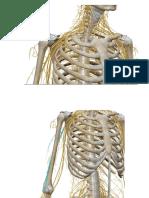 nervios miembro sueprior