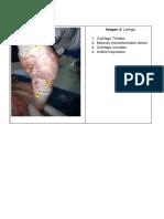 Diseccion de Laringe y Traquea