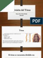 División Del Tórax