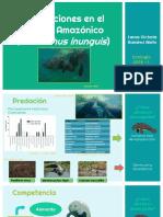 Interacciones ~ Manatí Amazónico [Laura Victoria Ramírez Nieto]