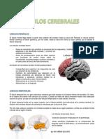 LOBULOS-cerebrales