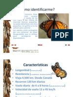 Mariposas monarca y su ruta en Nuevo León