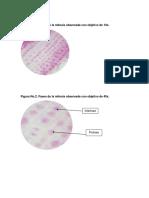 lab-bio-mitosis.docx