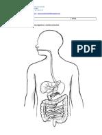 Organos Del Sistema Dgestivo
