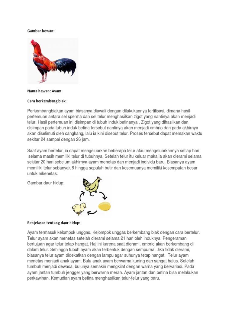 95 Gambar Perkembangbiakan Hewan Ayam HD