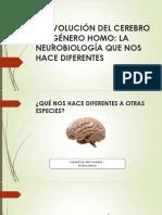 La Evolución Del Cerebro Del Género Homo