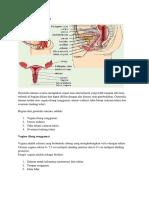genetalia interna