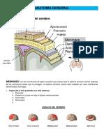 Anatomía Cerebral y Áreas de Brodmann