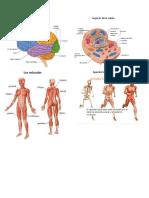 Sistema Nerviosoórganos de La Célula