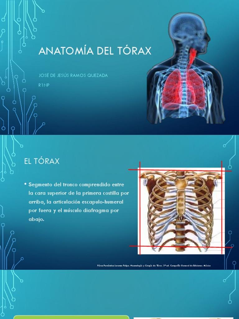 Encantador Anatomía Ct Normal De Segmentos Pulmonares Ilustración ...