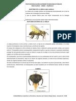 ANATOMIA DE LA ABEJA.docx