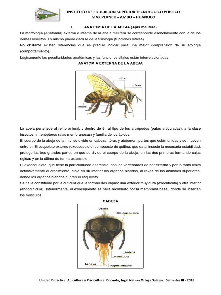 Asombroso La Anatomía De Una Abeja Inspiración - Anatomía de Las ...