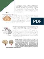 El Cerebro Es Un Órgano Complejo