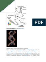 Situación Del ADN Dentro de Una