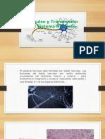 Impulso y Transmisión Del Sistema Nervioso