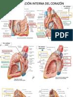 Configuración Interna Del Corazón