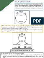 Sondas de ARN Antisentido
