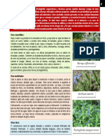 Botánica - Pentaglottis Sempervirens