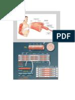 Anatomi otot rangka.docx
