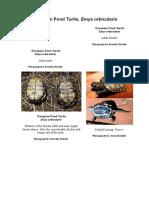 European Pond Turtle Emys Orbicularis