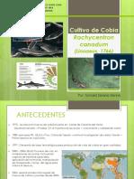 Cultivo de Cobia Rachycentrum Canadum 1