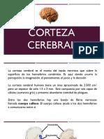 Corteza Cerebral.pptx