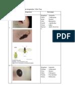 Hasil Penangkapan Serangga Menggunakan Yellow Trap
