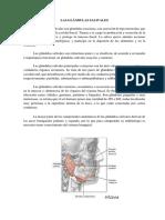 Glandulas Salivales-sindy Lorena Rojas Pinedo