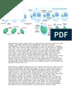 Endosimbiosis Primer Adalah Proses Di Mana Eukariota Menelan Prokariota Hidup Lainnya