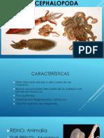 Cephalopod Os