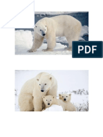 osos polares.docx