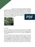 Ficus or Fig Tree
