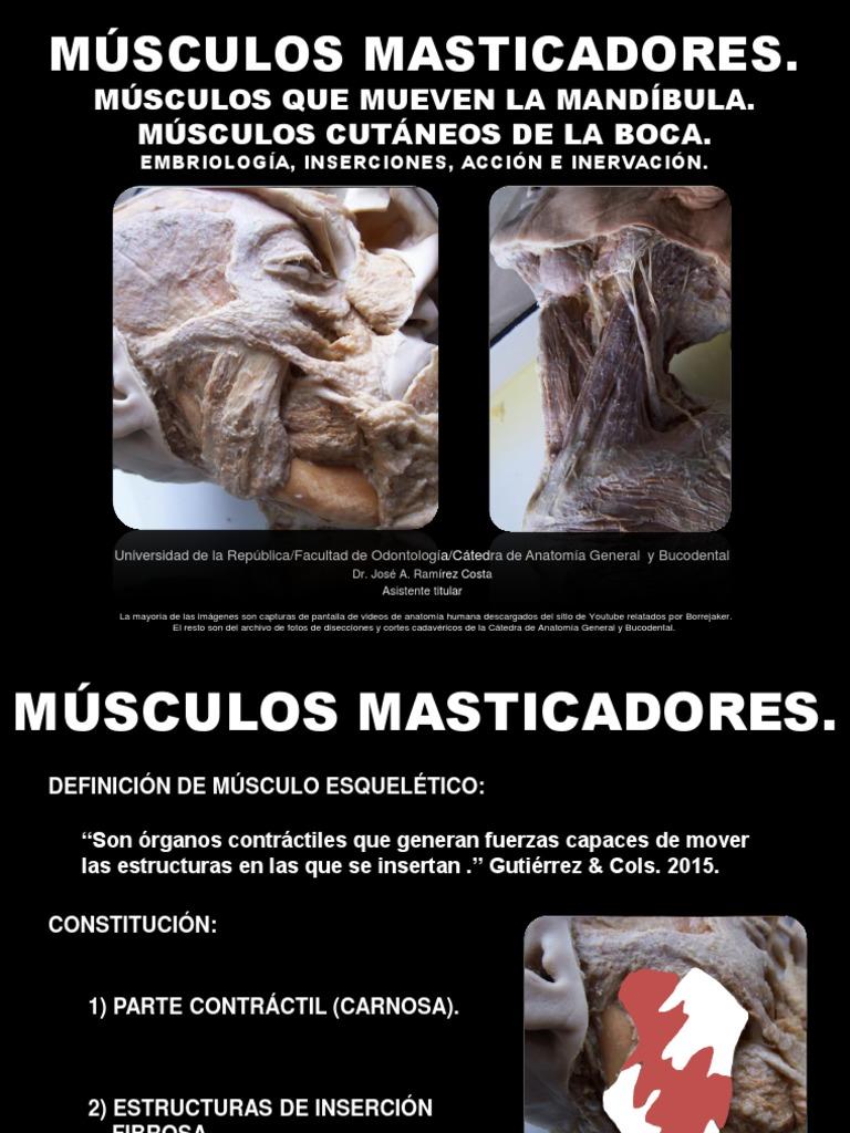 Músculos Masticadores. Músculos Que Mueven La Mandíbula y Fijan El ...