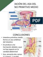 Herniación Del Asa Del Intestino Primitivo Medio