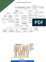 Los Fosfolípidos Son Una Clase de Lípidos Compuestos Por Una Molécula de Alcohol Junto a Dos Ácidos Grasos Además de Un Grupo Fosfato