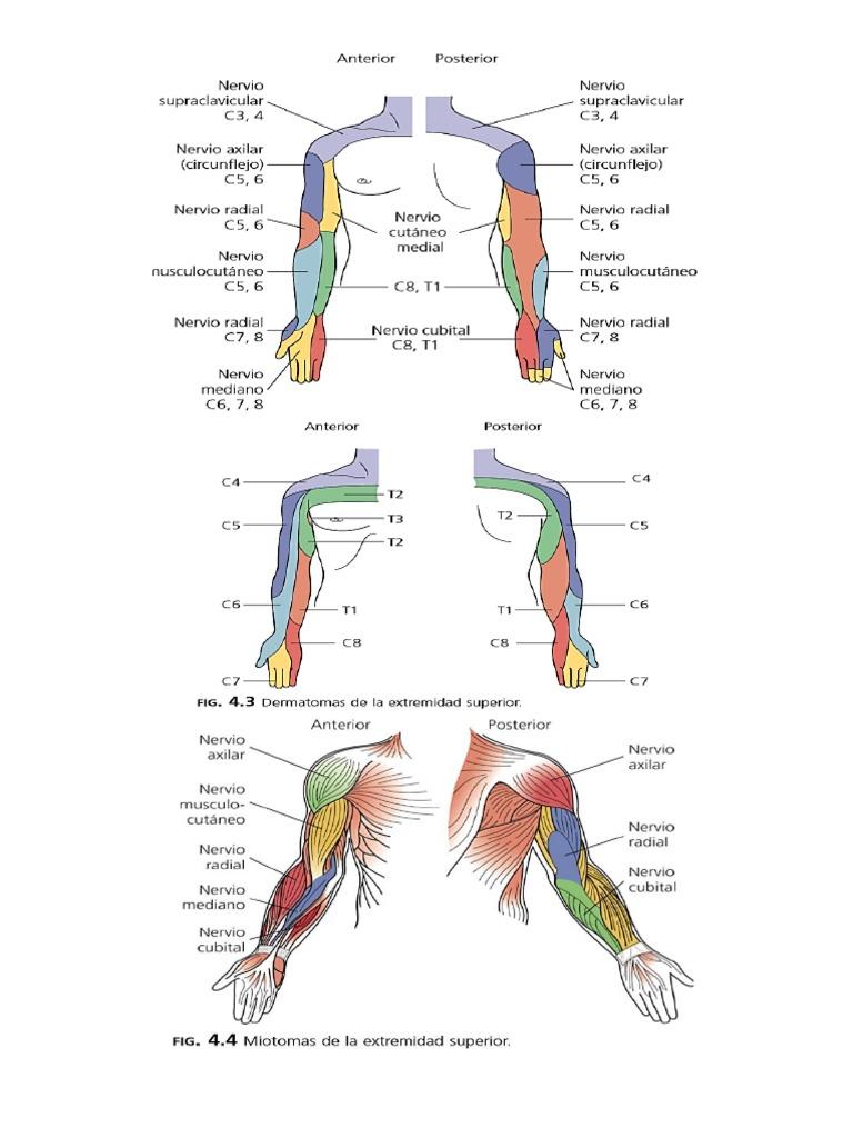 Moderno Dermatomas De Cabeza Cresta - Imágenes de Anatomía Humana ...