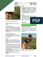Ficha de Identificacion-Tachybaptus_ruficollis Zampullin Chico