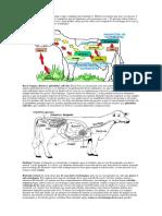 sistema disgestivo vaca.docx