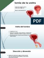 Anatomia y Fisiologia Uretra