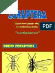 7 ZORAPTERA - EPHEMEROPTERA
