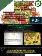 penetracion del patogeno en la planta