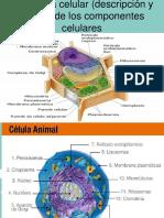 organelos primero  C.pptx