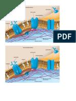 Esquema de Membrana Pearson