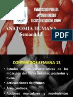 Anatomía Semana 13 - UPAO