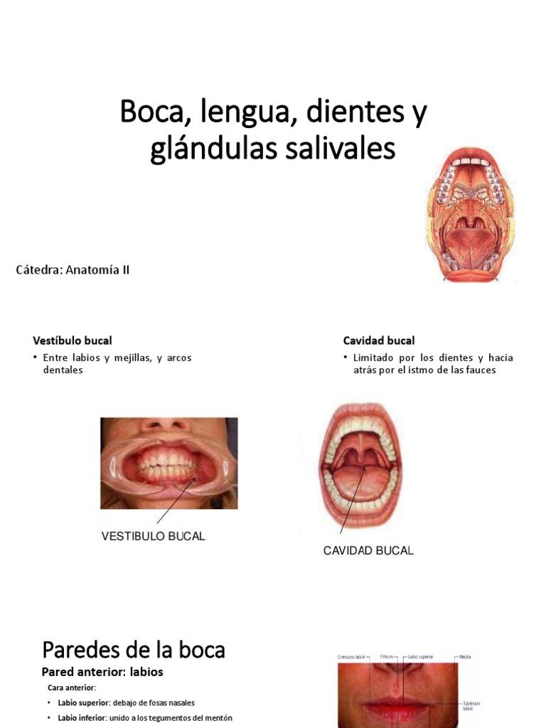 Boca, Lengua y Glándulas Salivales