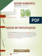 Fusion de Protoplastos Final Completo