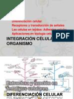DIFERENCIACIÓN CELULAR Fenotipos y Organogenesis