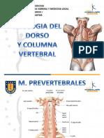 Musculatura columna y dorso